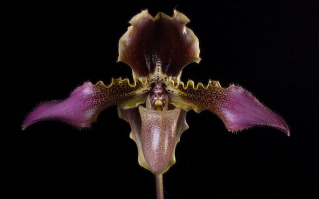 Paphiopedilum Hirsutissimum Orchid