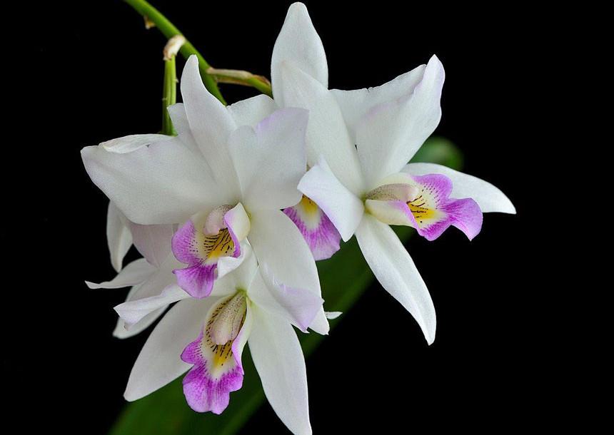 Cattelya Orchid