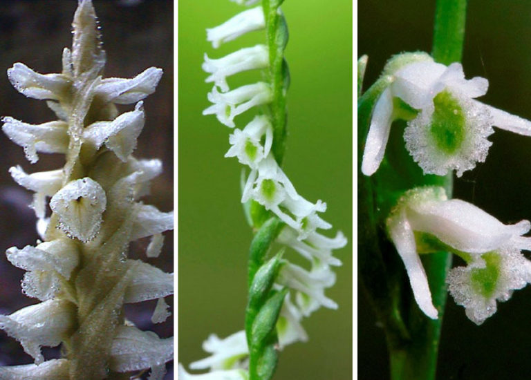 Ladies' Tresses orchids (Spiranthes species)