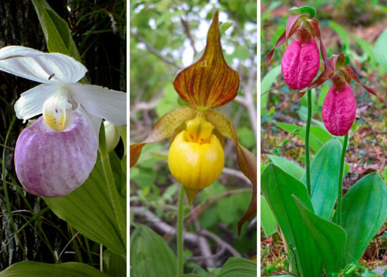 Lady's Slipper orchids (Cypripedium species)